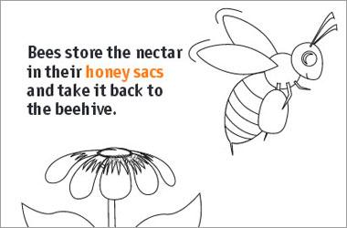 "a drawing of a bee and flower and text ""Bees store the nectar in their honey sacs and take it back to the bee hive""."